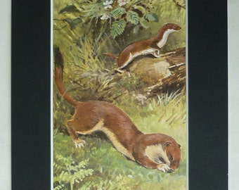 Vintage 1950s Nature Print, Natural History Gift, Stoat Decor, Weasel Art, Available Framed, Rural Art, Country Wall Art, Roland Green