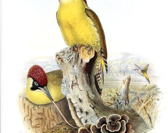 "Woodpecker -  Bird vintage print   - 9.2 "" x 12.6  inches  - A12"