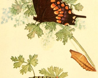 Vintage Reproducton Print Black Swallowtail Beecroft Butterflies A4 Natural History Entomology
