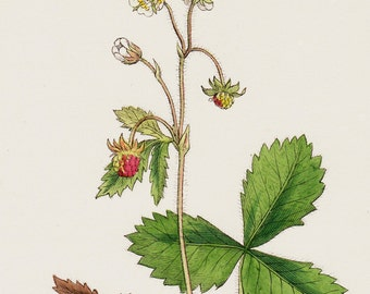 1873 Botanical antique print, Wild strawberry