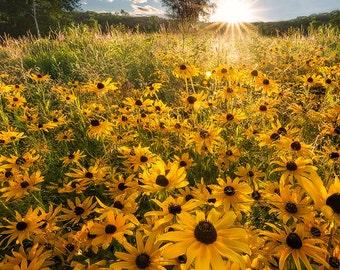 Backyard Beauty, Wildflowers, Black Eyed Susans, Sunshine, Happy, Spring, Summer, Field of Flowers - Travel Photography, Print, Wall Art