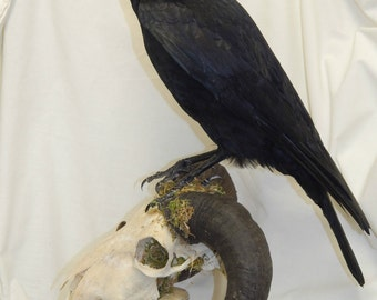 Taxidermy crow on top half of a real ram skull then attached to a wooden base