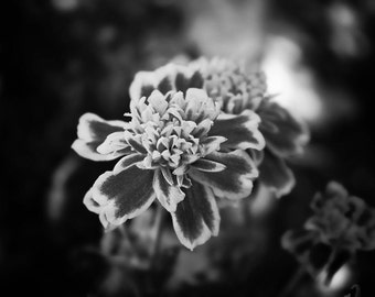Black and White Nature Photography, Flowers, Marigold, Whimsical, Flower Photography, Dark Nature