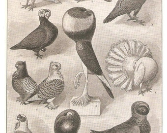 Antique Pigeons illustration