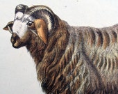 1830 - SHEEP - Beautiful handcoloured Lithograph, Germany. Animal, Farm. 185 years old.