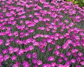 100 Dianthus Seeds Chedder Pink FLOWER SEEDS
