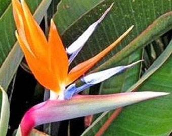 Bird Of Paradise Seeds Strelitzia Reginae 15 Seeds