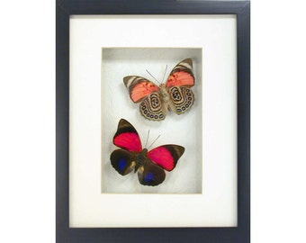 Real Framed Butterflies - Elegant and Colorful Agrias claudina lugens pair from Peru