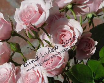 Pink Roses in Sunlight