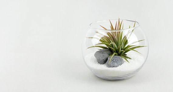 tillandsia luft pflanzen terrarium bausatz diy set mit. Black Bedroom Furniture Sets. Home Design Ideas