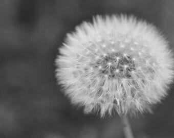 Dandelion - Fine Art