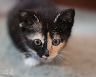 Calico Cat Art - Little Hunter - Calico Kitten Photo - Cute Kitten Print - Animal Photography - Cat Wall Decor