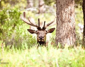 Fathers Day Gift, Wildlife Decor, Animal Nursery Art, Elk Print, Rocky Mountain National Park, Wildlife Photos, Photo Print, Wall Decor