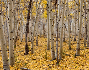Nature Photograph - Carpet of Gold