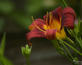 Nature Photography. Photography Print. Lily