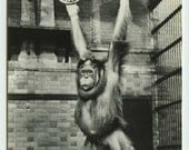 Orangutan Swinging from Rings Real Photo Postcard