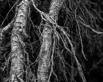 Fine art print of exposed roots
