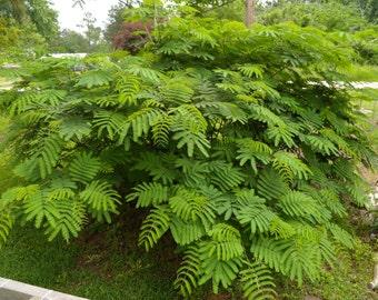 Organic Mimosa Tree Seeds, 15 Organic Seeds, Silk Tree Seeds, Albizia Julibrissin, Medicinal Herb, Tree Seeds, Open Pollinated, Non GMO