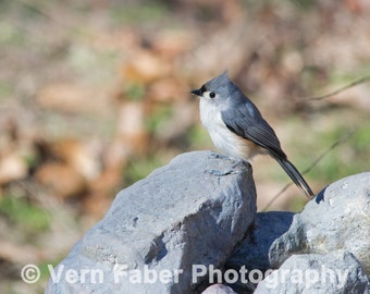 Tufted Titmouse, Bird Photo, Tufted Titmouse Photo, Nature Photo, Photograph Print