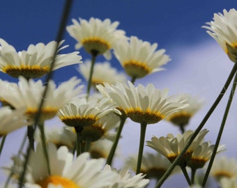 White Flowers in the Sun - Digital Download - Photography by GemShort Photography