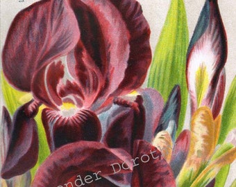 German Iris  Vintage Flowers 1922 Jazz Age Botanical Lithograph For Framing