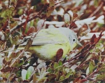 Nashville Warbler, Song Bird, Yellow Bird, Perching Bird, Metal Print, Photograph, Photo Print, One of a Kind