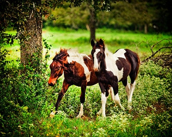 Texas Paint horses, two running young playful horses, cattle art, rustic decor, cheerful photo, animal photo, Horse Photography, Equine Art