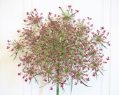 Seeds Flower Pink Queen Annes Lace Garden Organic
