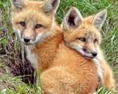 fox art photograph wildlife young amazing nature spirit image print, metal, or puzzle art animal babies