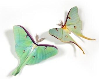 Papercut Luna Moth Decoration