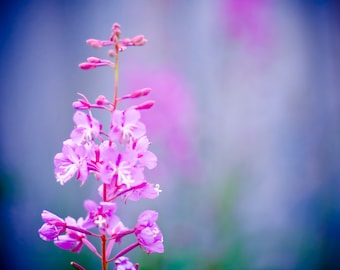 Fireweed Dreams -- 8X10 Fine Art Print