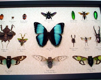 Insect Collection Museum Shadowbox Display 16 Specimens 8019