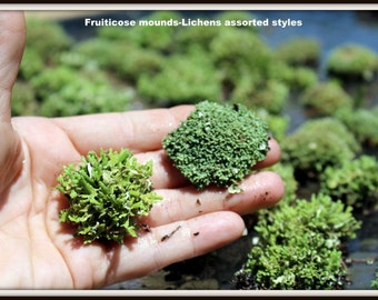 4 Fruiticose Lichen Mounds- Assorted  Sized mounds-Live  Lichens-Terrarium supplies