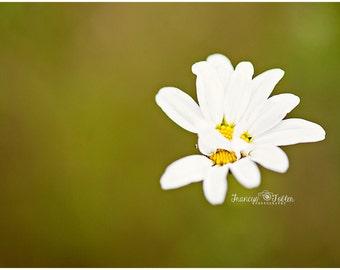 Spring Wild Daisy Flower Fine Art Canvas wrap-