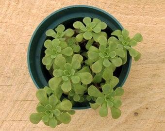 Pink Shield Sedum, Stonecrop, Sedum, Winter Hardy Potted Plant
