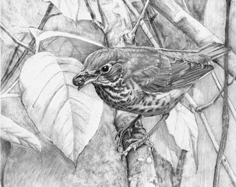 Swainson's Thrush with Berry - Open edition print of an original drawing