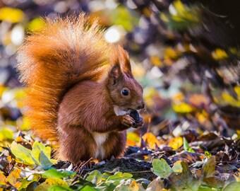 Autumn Squirrel - Fine Art Nature Photography Print