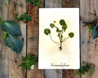 Fig Buttercup Pressed Botanical Art