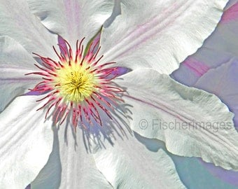 Macro White Clematis Yellow & Pink Center Digital Download or Photo Print Wall Art Home Decor Fine Art Photography