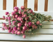 DRIED FLOWERS bi-colored Lovely Rose pink / cream color Globe Amaranth Flowers gomphrena, Prim, Wedding, Shabby, cottage floral supply