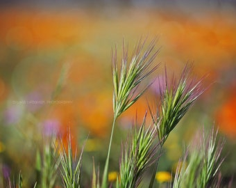 Country photography wildflower photography nature photography grass orange green rustic wall art   Fine Art Photography Print