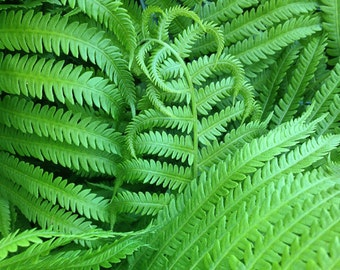 Ferns, Green, Nature, Leaf, Black, close-up,  abstract, photograph, garden, square,