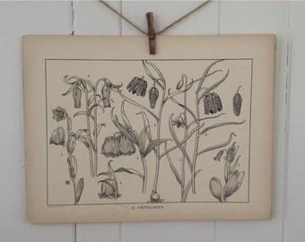Fritillarys-LARGE Vintage Plant Form Print-Book Plate-1903-Found in Dublin