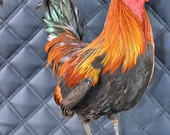 Real taxidermy of rooster,cock