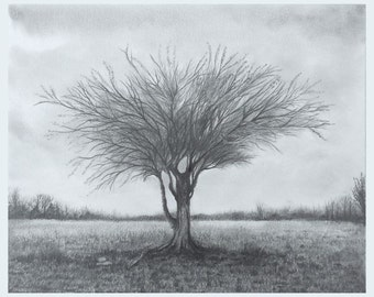 Mulga Acacia Desert Tree Graphite Drawing