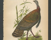 Wild Turkey 1890 Bird Lithograph B.H. Warren