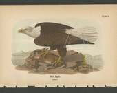 Bald Eagle 1890 Bird Lithograph B.H. Warren