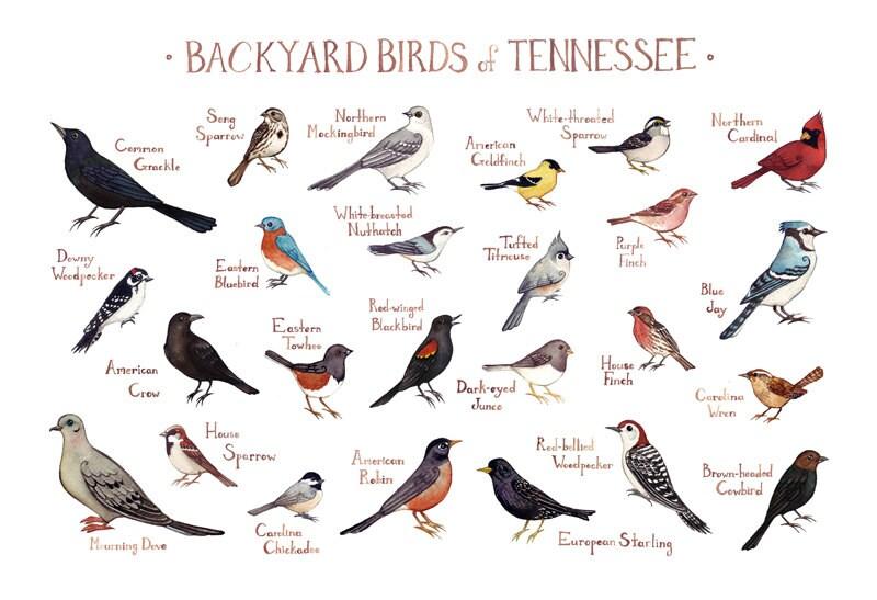 Tennessee Backyard Birds Field Guide Art Print / Watercolor