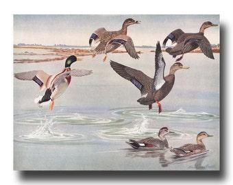 "Duck Art, Mallard Duck Print (Vintage Bird Wall Decor, Antique Bird Illustration Gift) --- ""Mallards Take Flight"" No.12"
