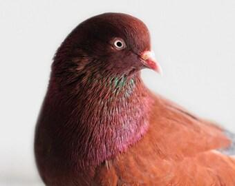 Bird Photograph, Pigeon, Teal, Fuchsia, Chocolate Brown, Nature, Animal Art, Fine Art Photography